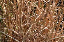 Dry Long Grass In Springtime, ...