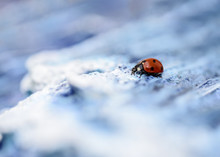 Ladybug On Sea Imitation Backg...