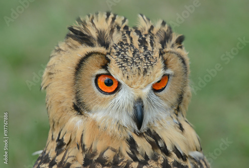 Foto op Canvas Uil Indian eagle-owl, Bubo bengalensis, puchacz indyjski