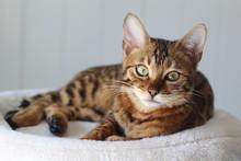 Beautiful Exotic Cat Portrait Isolated