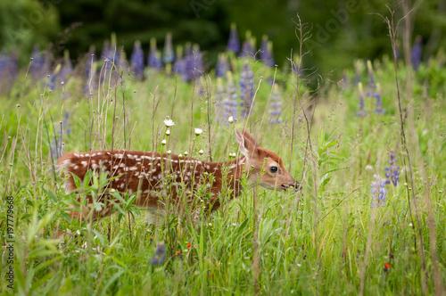 White-Tailed Deer Fawn (Odocoileus virginianus) Walks Nearly Hidden in Grass