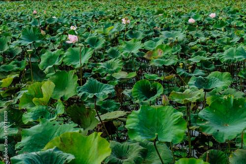 Lotus Flowers Plantationcambodia Buy This Stock Photo And