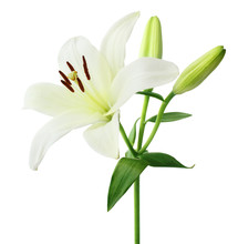Beautiful White Lily With Buds...