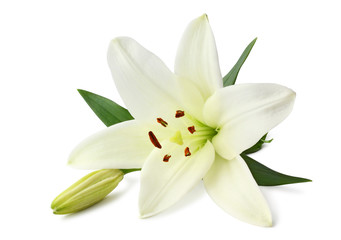 Beautiful white Lily (Seerose) with bud isolated on white background, including clipping path without shade.