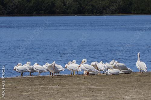 Fotografija  Breeding adult American White Pelicans (Pelicanus erythrorhynchos)
