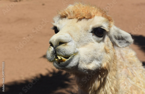 Fotobehang Leeuw White Alpaca With Messed Up Teeth in His Mouth