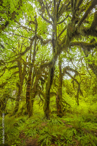 Wall Murals Forest Hoh rainforest in Olympic National Park
