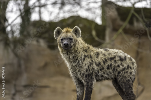 Spoed Foto op Canvas Hyena The spotted hyena (Crocuta crocuta)