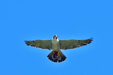 青空バックに悠然と餌を運ぶハヤブサ