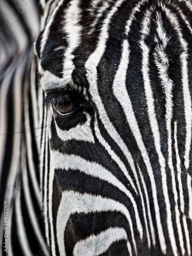 Fototapety, obrazy: Zebra's Face & Eye Close-Up