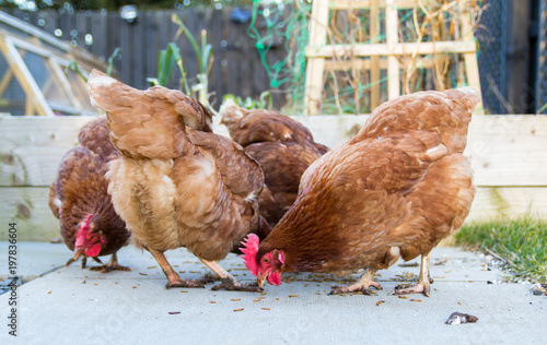 A group of chickens in a domestic garden or allotment Canvas Print