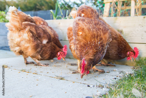 A group of chickens in a domestic garden or allotment Wallpaper Mural