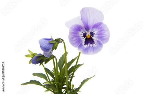 Foto op Plexiglas Pansies pansies isolated