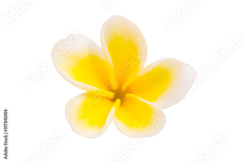 Foto op Canvas Frangipani frangipani flower isolated