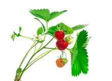 Strawberry Plant With Leaves, ...