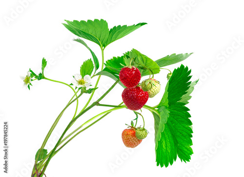 Strawberry plant with leaves, berries and flower, isolated on white background.