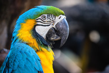 Close Up Portrait Of Colorful Blue And Yellow Macaw Parrot (Ara Ararauna)