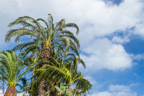 Tuinposter Olijfboom Palm trees growing upwards the blue sky with white clouds on a windy day