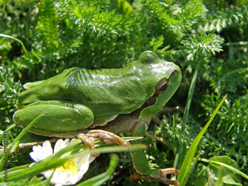 Hyla arborea in its environment on the tree and in the grass. Canvas Print