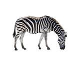Fototapeta Sawanna - side view full body of african zebra isolated white background