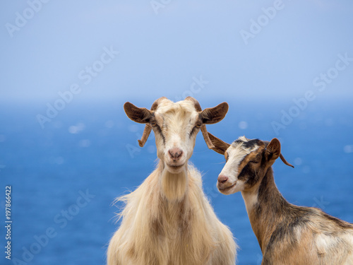 Two goats at the side of the road with the sea in the background Canvas Print