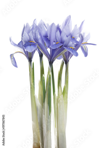 Foto op Canvas Iris Spring irises of blue color isolated on white background.