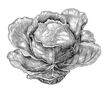 Cabbage Hand Drawing Vintage E...