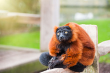 Red Ruffed Lemur Sitting On Th...