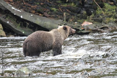Photo Bears in Alaska