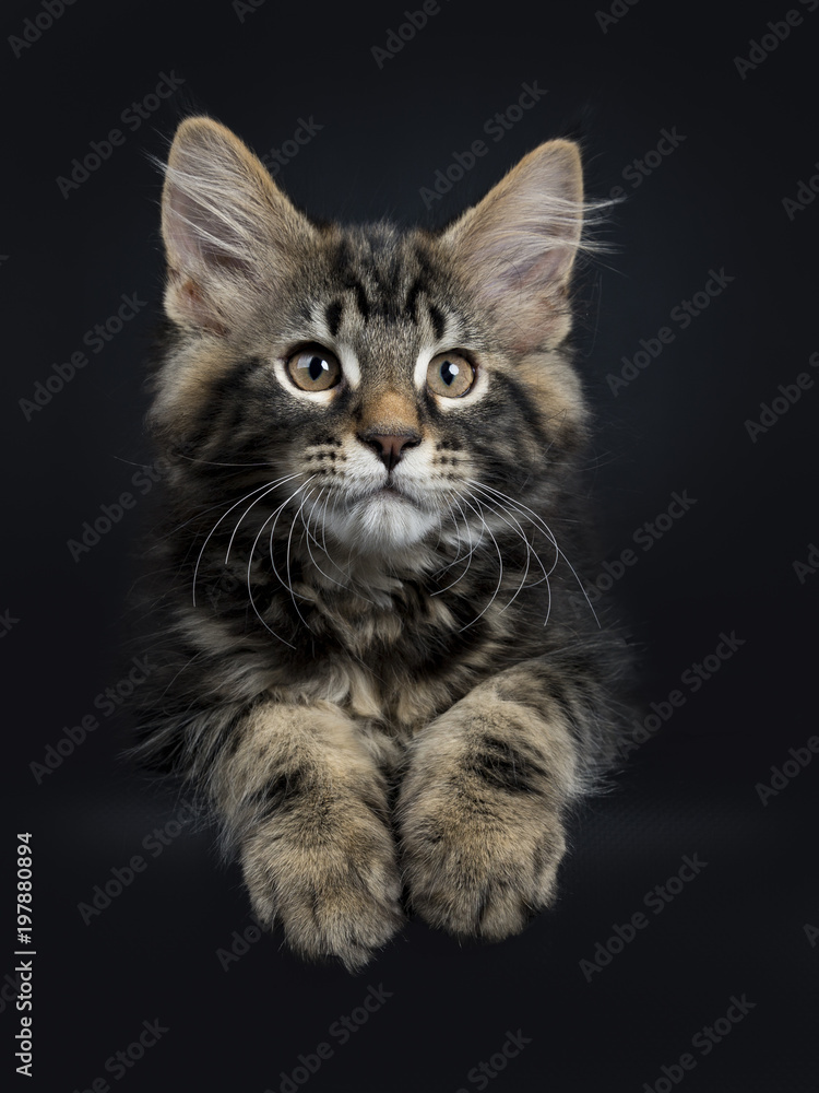 Nieuw Poster, Foto Handsome black tabby Maine Coon cat / kitten laying BH-45