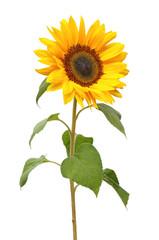 Wonderful Sunflower (Helianthus annuus, Asteraceae) isolated on white background.