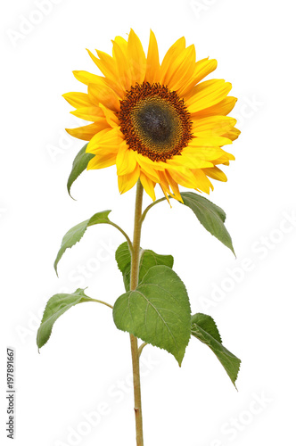 Wonderful Sunflower (Helianthus annuus, Asteraceae) isolated on white background.