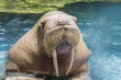 close up face ivory walrus in deep sea water