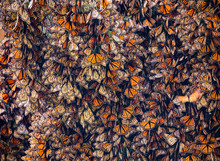 Monarch Butterflies, Danaus Pl...