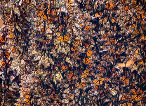 Vászonkép Monarch Butterflies, Danaus plexippus, Gathered on Oyamel Tree