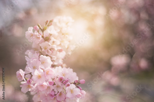 Foto op Aluminium Bloemenwinkel Spring flowers background with pink blossom, blooming garden