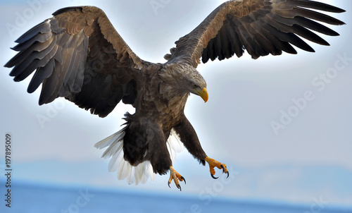 Poster Eagle Adult White-tailed eagle in flight. Blue sky background. Scientific name: Haliaeetus albicilla, also known as the ern, erne, gray eagle, Eurasian sea eagle and white-tailed sea-eagle.