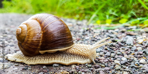 Photo Weinbergschnecke