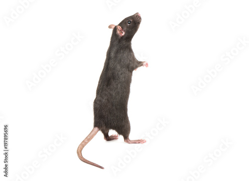 Canvas Print Rat stands on hind legs