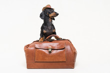 Dachshund Breed Dog, Black And...