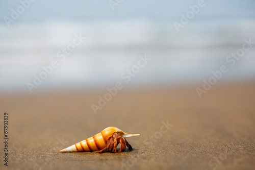 hermit crab on the beach in Varkala Canvas Print
