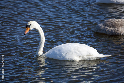 Foto op Canvas Zwaan white swan in ice cold water in denmark