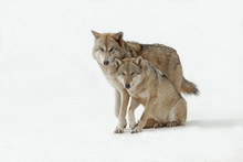 Wolves Male And Female Walking...