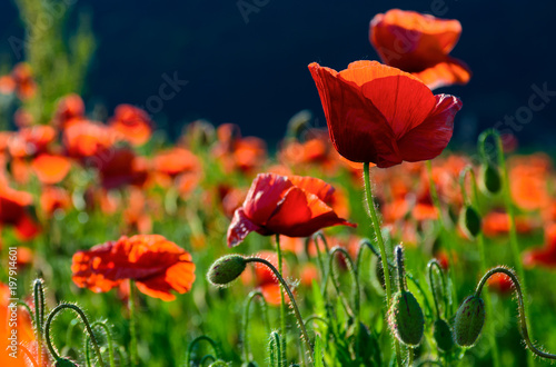 Fotografie, Obraz  big red blossoming poppy flower in the field