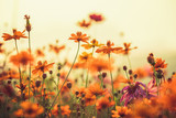 Fototapeta Kwiaty - Cosmos colorful flower in the field during sunset in spring season. Photo toned style Instagram filters. Nature background