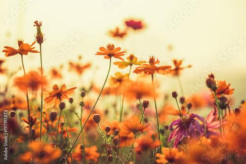 kosmosu-kolorowy-kwiat-w-polu-podczas-zmierzchu-w-wiosna-sezonie-filtry-na-instagram-w-stylu-fotograficznym-charakter-tla