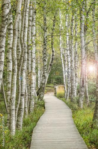 Holzsteg inmitten eines traumhaften Birkenwald in Deutschland