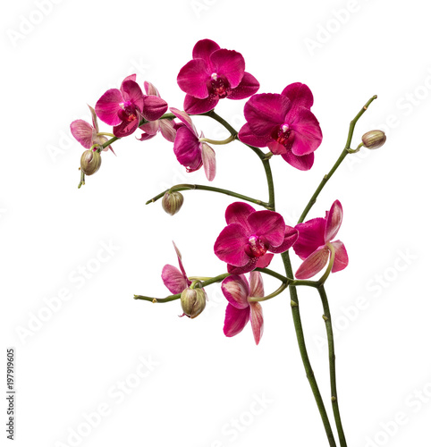 Orchid flowers isolated on white background