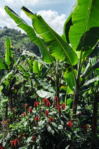 zadziwiajacy-krajobraz-w-pelni-bananowi-drzewa-i-kwiaty-w-wsi-salento-kolumbia