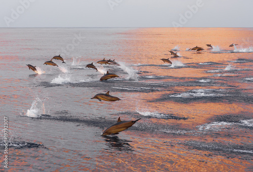 In de dag Dolfijn Dolphins are pursuing a flock of fish at sunset.
